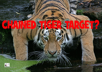 """Beim """"Deutschen Bogensport Verlag"""" gibt es neuerdings geschmackvolle und moderne Tiger-Tierscheiben zum Bestellen. ANGEKETTETER Sibirischer Tiger!"""